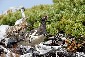 270608raichoA2-019_繁殖羽となった番の雌雄 塩見岳20070629.jpg