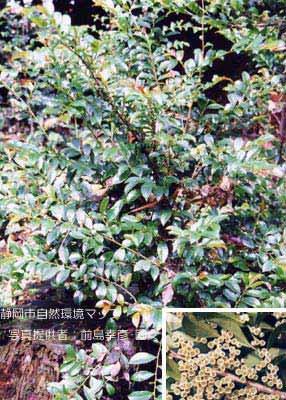 ヒサカキの画像 p1_29